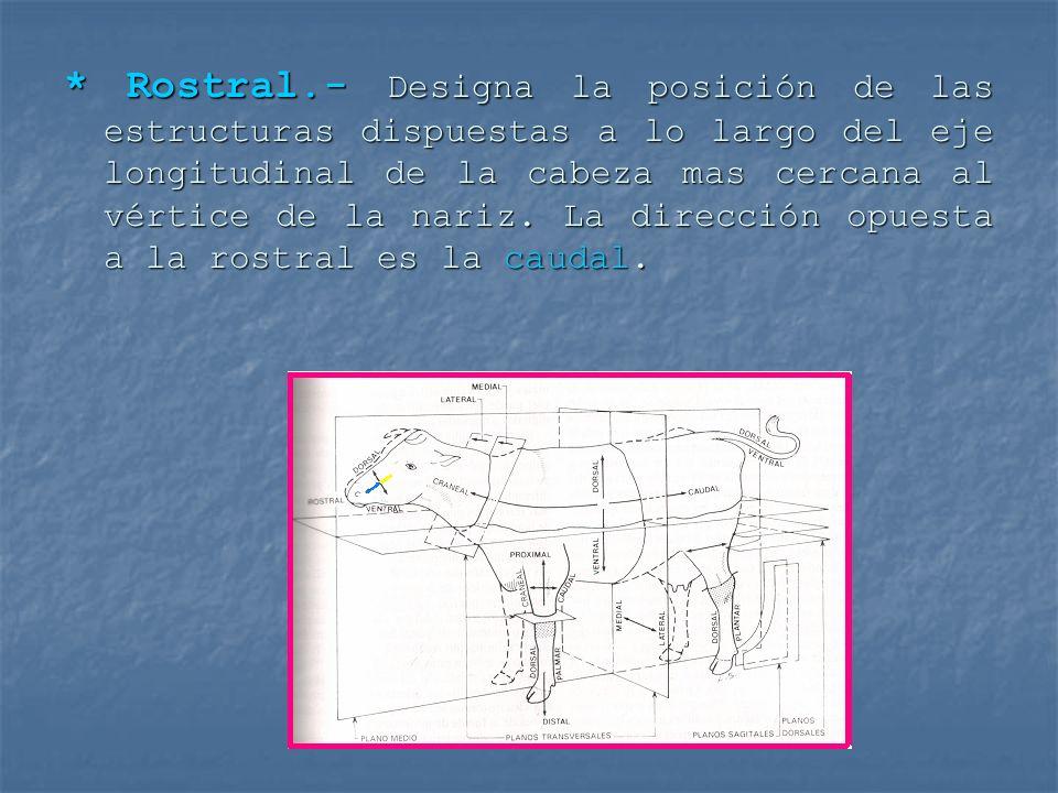 * Rostral.- Designa la posición de las estructuras dispuestas a lo largo del eje longitudinal de la cabeza mas cercana al vértice de la nariz. La dire