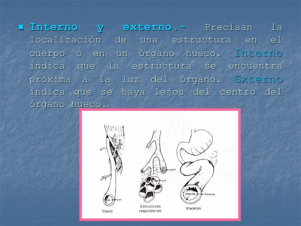 Interno y externo.- Precisan la localización de una estructura en el cuerpo o en un órgano hueco. Interno indica que la estructura se encuentra próxim