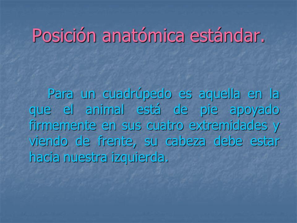 Posición anatómica estándar. Para un cuadrúpedo es aquella en la que el animal está de pie apoyado firmemente en sus cuatro extremidades y viendo de f