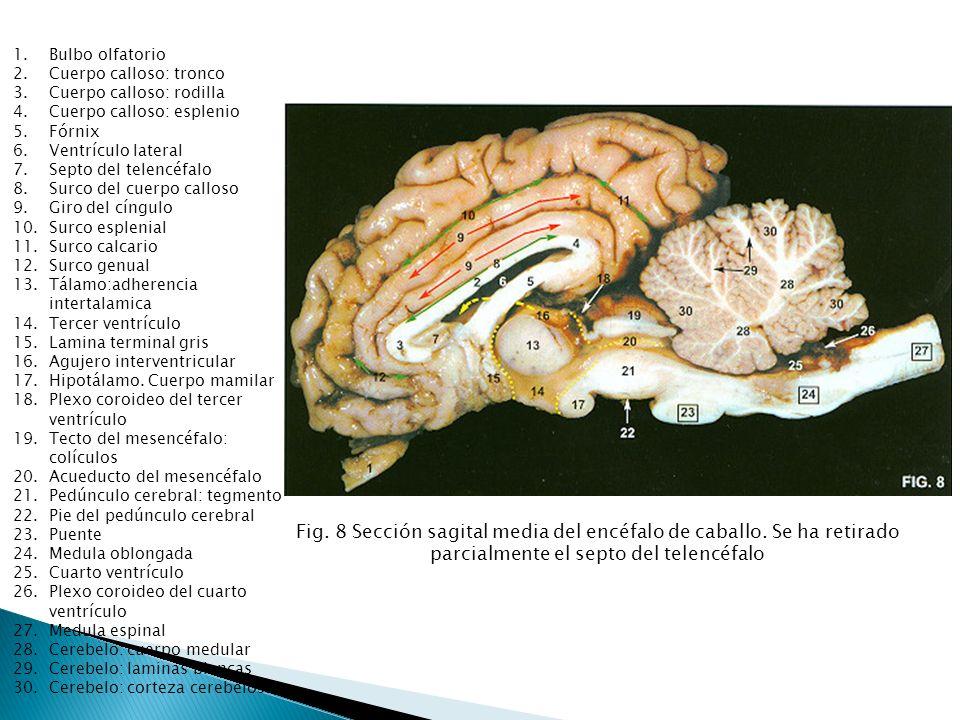 1.Bulbo olfatorio 2.Cuerpo calloso: tronco 3.Cuerpo calloso: rodilla 4.Cuerpo calloso: esplenio 5.Fórnix 6.Ventrículo lateral 7.Septo del telencéfalo