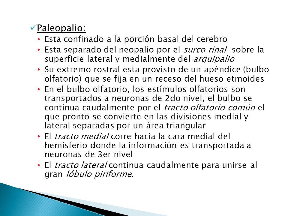 Paleopalio: Esta confinado a la porción basal del cerebro Esta separado del neopalio por el surco rinal sobre la superficie lateral y medialmente del