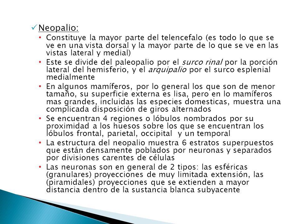 Neopalio: Constituye la mayor parte del telencefalo (es todo lo que se ve en una vista dorsal y la mayor parte de lo que se ve en las vistas lateral y