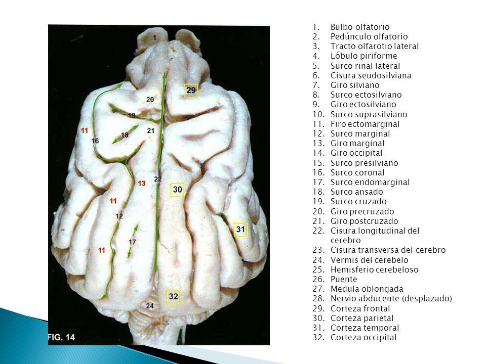 1.Bulbo olfatorio 2.Pedúnculo olfatorio 3.Tracto olfarotio lateral 4.Lóbulo piriforme 5.Surco rinal lateral 6.Cisura seudosilviana 7.Giro silviano 8.S