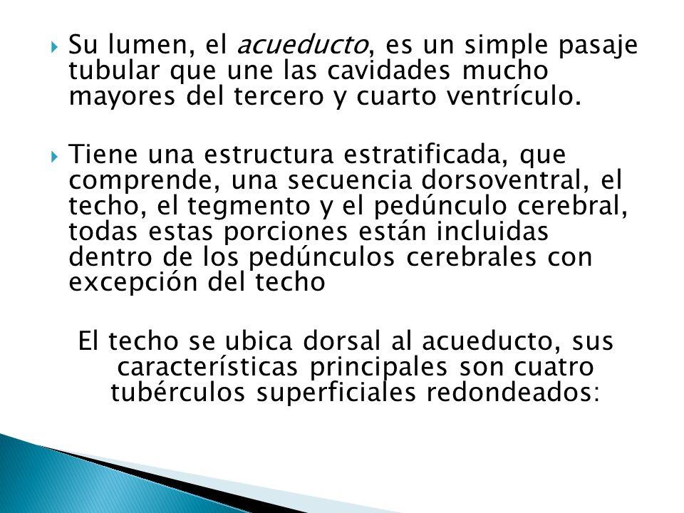 Su lumen, el acueducto, es un simple pasaje tubular que une las cavidades mucho mayores del tercero y cuarto ventrículo. Tiene una estructura estratif