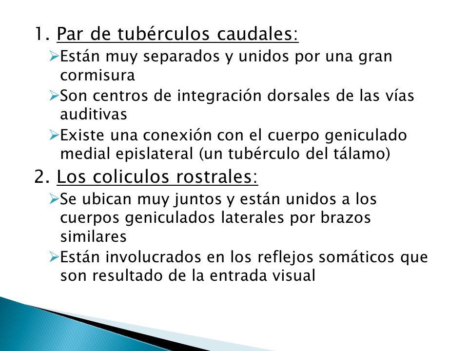 1. Par de tubérculos caudales: Están muy separados y unidos por una gran cormisura Son centros de integración dorsales de las vías auditivas Existe un