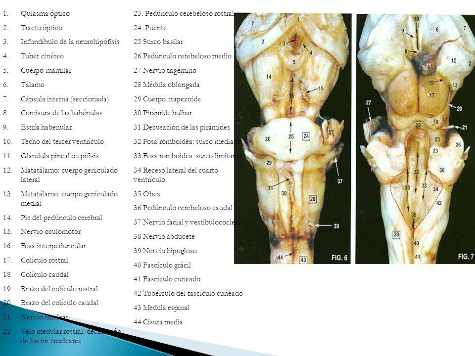 1.Quiasma óptico 2.Tracto óptico 3.Infundíbulo de la neurohipófisis 4.Tuber cinéreo 5.Cuerpo mamilar 6.Tálamo 7.Cápsula interna (seccionada) 8.Comisur