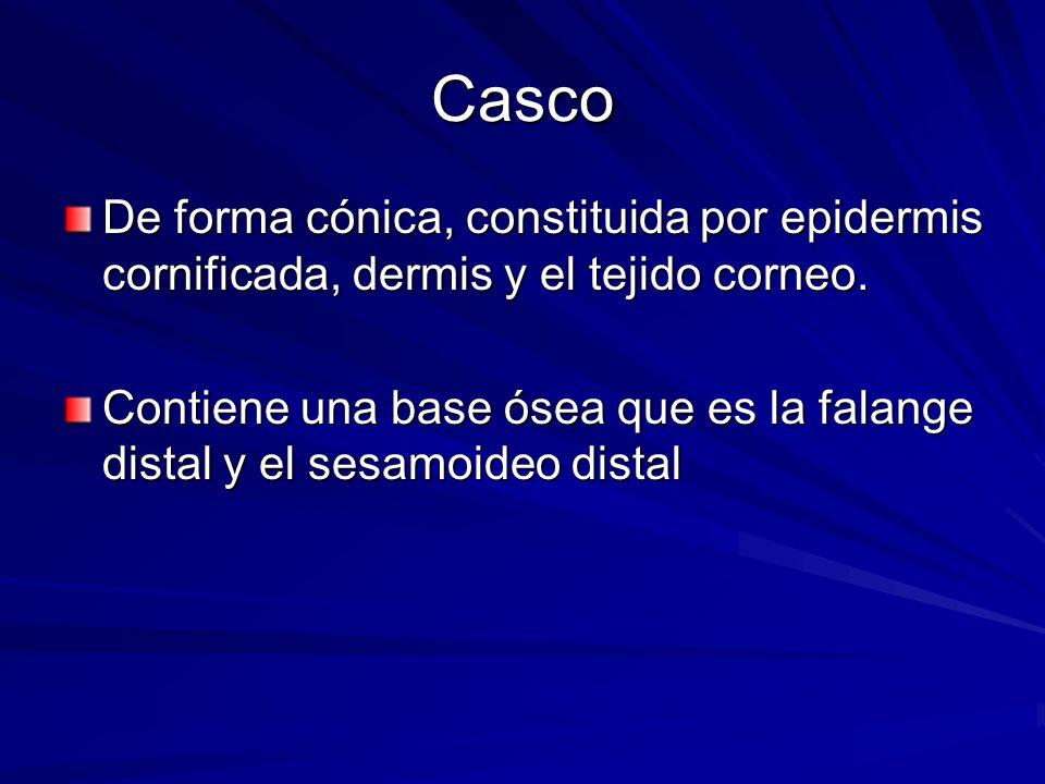 Casco De forma cónica, constituida por epidermis cornificada, dermis y el tejido corneo. Contiene una base ósea que es la falange distal y el sesamoid