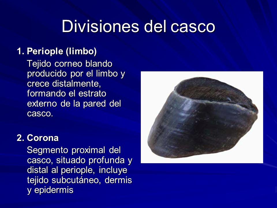 Divisiones del casco 1. Periople (limbo) Tejido corneo blando producido por el limbo y crece distalmente, formando el estrato externo de la pared del