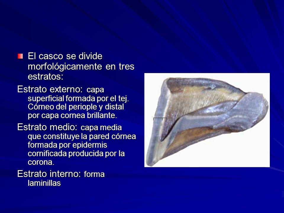 El casco se divide morfológicamente en tres estratos: Estrato externo: capa superficial formada por el tej. Córneo del periople y distal por capa corn