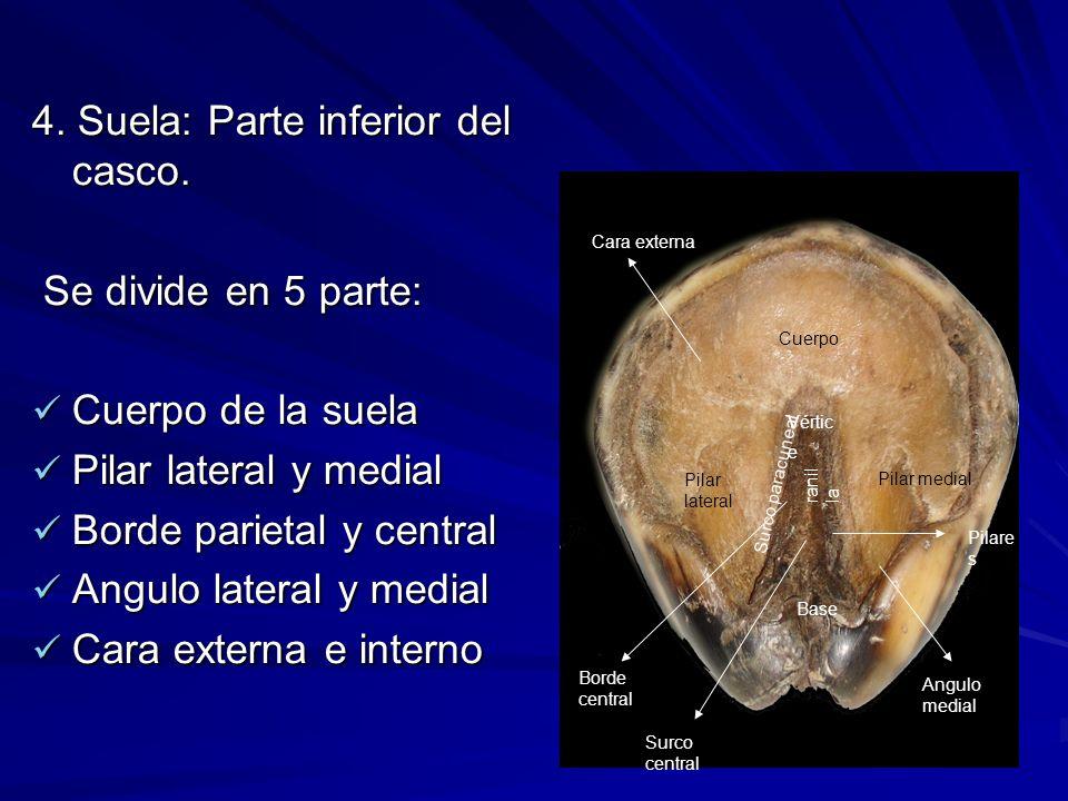 4. Suela: Parte inferior del casco. Se divide en 5 parte: Se divide en 5 parte: Cuerpo de la suela Cuerpo de la suela Pilar lateral y medial Pilar lat