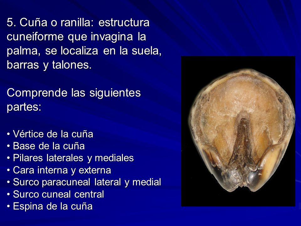 5. Cuña o ranilla: estructura cuneiforme que invagina la palma, se localiza en la suela, barras y talones. Comprende las siguientes partes: Vértice de