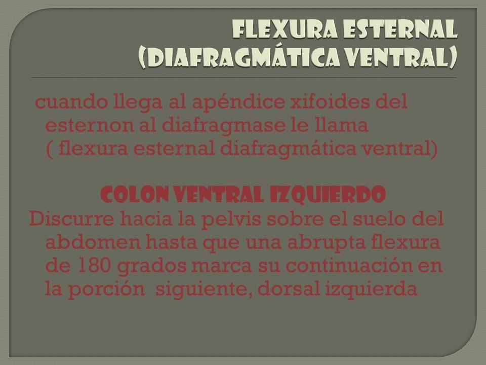 cuando llega al apéndice xifoides del esternon al diafragmase le llama ( flexura esternal diafragmática ventral) Colon ventral izquierdo Discurre haci