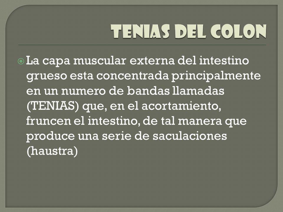La capa muscular externa del intestino grueso esta concentrada principalmente en un numero de bandas llamadas (TENIAS) que, en el acortamiento, frunce
