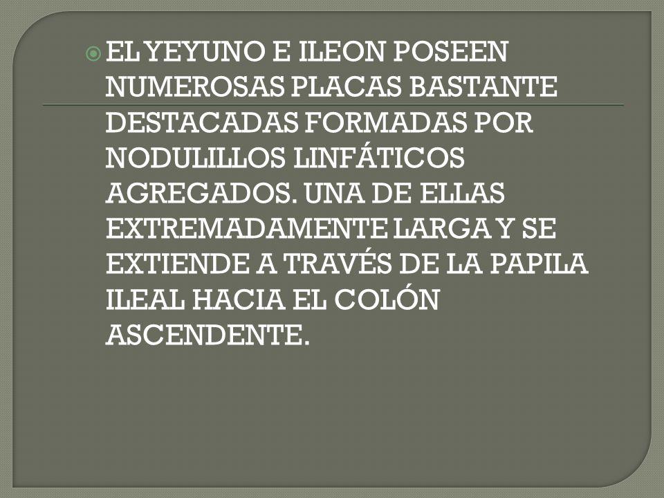 EL YEYUNO E ILEON POSEEN NUMEROSAS PLACAS BASTANTE DESTACADAS FORMADAS POR NODULILLOS LINFÁTICOS AGREGADOS. UNA DE ELLAS EXTREMADAMENTE LARGA Y SE EXT
