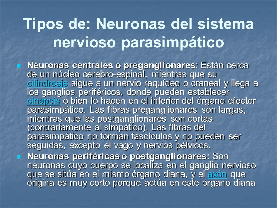 Tipos de: Neuronas del sistema nervioso parasimpático Neuronas centrales o preganglionares: Están cerca de un núcleo cerebro-espinal, mientras que su