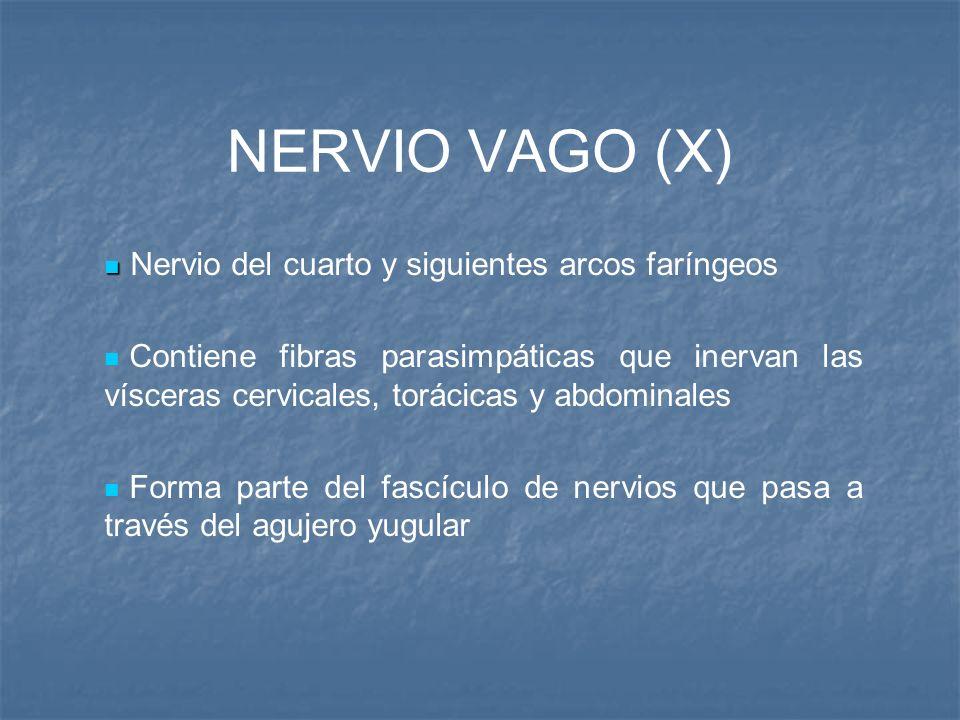 NERVIO VAGO (X) Nervio del cuarto y siguientes arcos faríngeos Contiene fibras parasimpáticas que inervan las vísceras cervicales, torácicas y abdomin