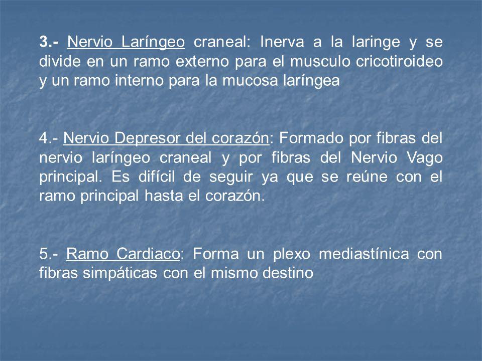 3.- Nervio Laríngeo craneal: Inerva a la laringe y se divide en un ramo externo para el musculo cricotiroideo y un ramo interno para la mucosa larínge