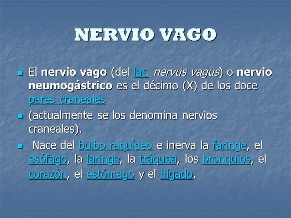 NERVIO VAGO El nervio vago (del lat. nervus vagus) o nervio neumogástrico es el décimo (X) de los doce pares craneales El nervio vago (del lat. nervus