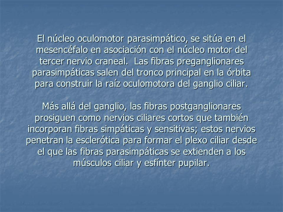 El núcleo oculomotor parasimpático, se sitúa en el mesencéfalo en asociación con el núcleo motor del tercer nervio craneal. Las fibras preganglionares