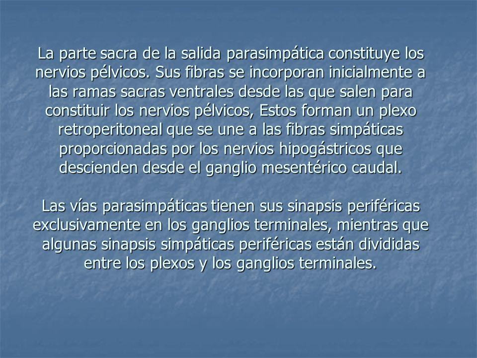 La parte sacra de la salida parasimpática constituye los nervios pélvicos. Sus fibras se incorporan inicialmente a las ramas sacras ventrales desde la