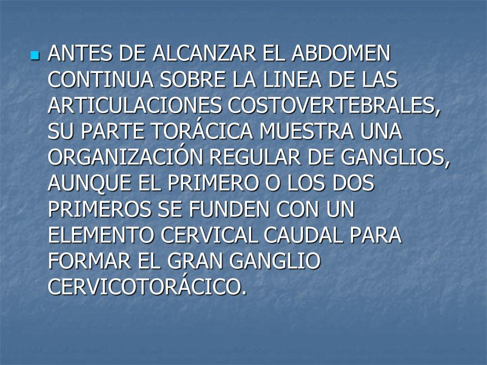 ANTES DE ALCANZAR EL ABDOMEN CONTINUA SOBRE LA LINEA DE LAS ARTICULACIONES COSTOVERTEBRALES, SU PARTE TORÁCICA MUESTRA UNA ORGANIZACIÓN REGULAR DE GAN