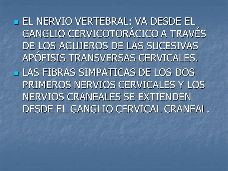 EL NERVIO VERTEBRAL: VA DESDE EL GANGLIO CERVICOTORÁCICO A TRAVÉS DE LOS AGUJEROS DE LAS SUCESIVAS APÓFISIS TRANSVERSAS CERVICALES. EL NERVIO VERTEBRA