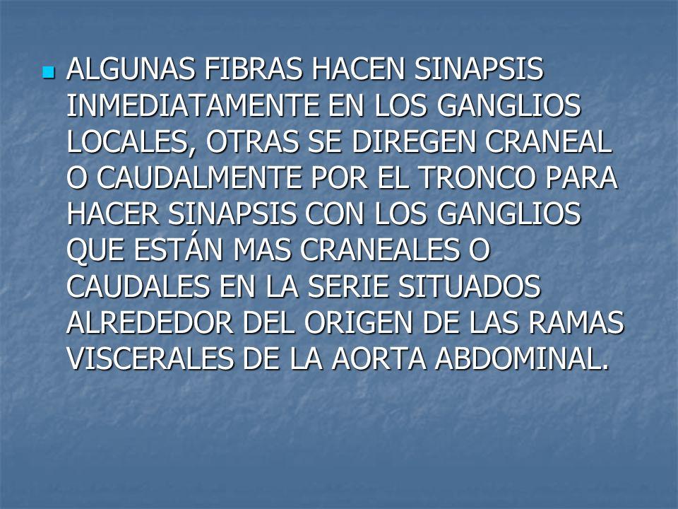 ALGUNAS FIBRAS HACEN SINAPSIS INMEDIATAMENTE EN LOS GANGLIOS LOCALES, OTRAS SE DIREGEN CRANEAL O CAUDALMENTE POR EL TRONCO PARA HACER SINAPSIS CON LOS
