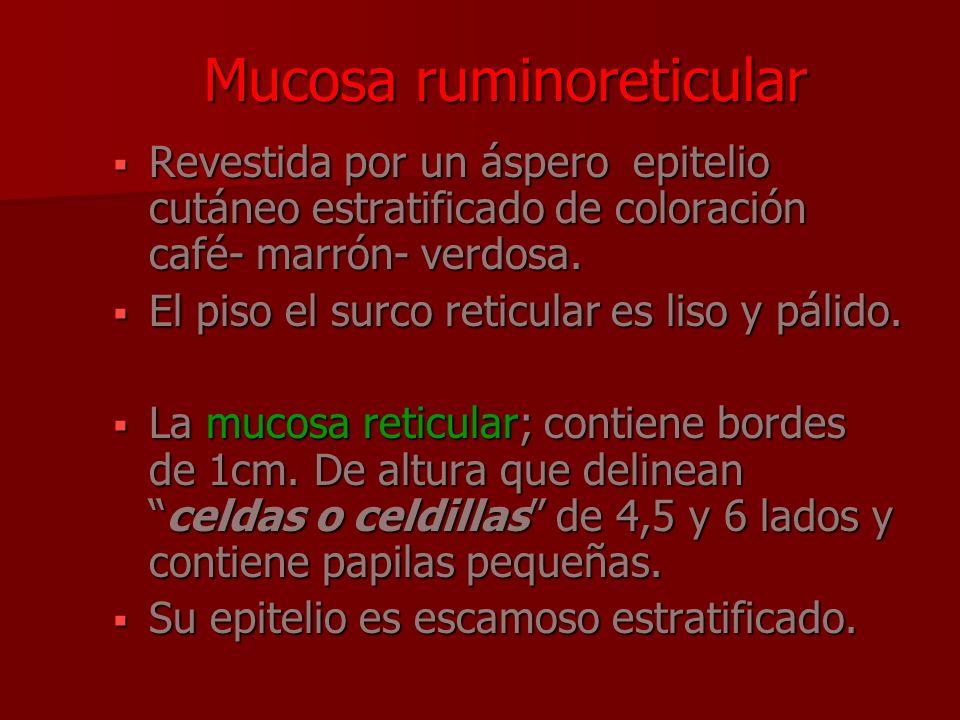 Mucosa ruminoreticular Revestida por un áspero epitelio cutáneo estratificado de coloración café- marrón- verdosa. Revestida por un áspero epitelio cu