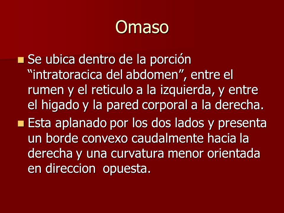 Omaso Se ubica dentro de la porción intratoracica del abdomen, entre el rumen y el reticulo a la izquierda, y entre el higado y la pared corporal a la