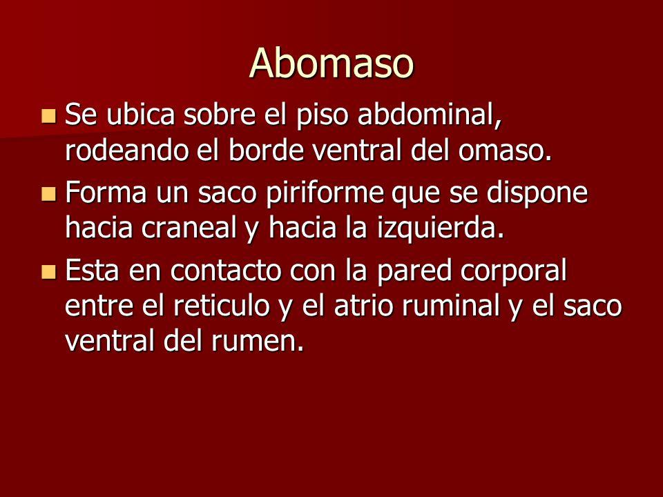 Abomaso Se ubica sobre el piso abdominal, rodeando el borde ventral del omaso. Se ubica sobre el piso abdominal, rodeando el borde ventral del omaso.