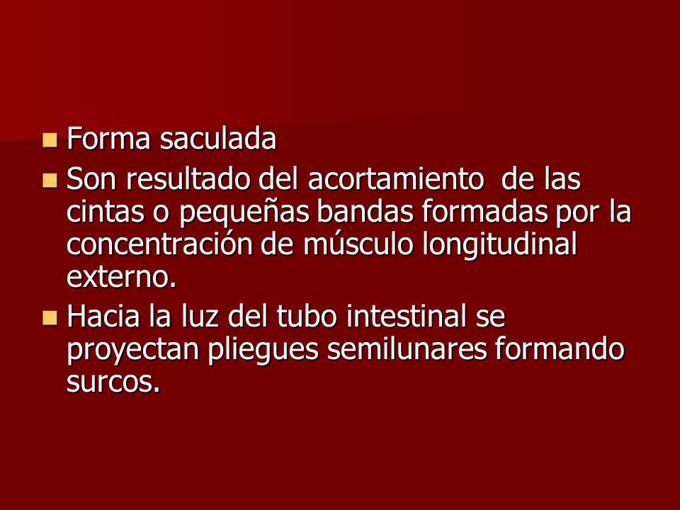 Forma saculada Forma saculada Son resultado del acortamiento de las cintas o pequeñas bandas formadas por la concentración de músculo longitudinal ext