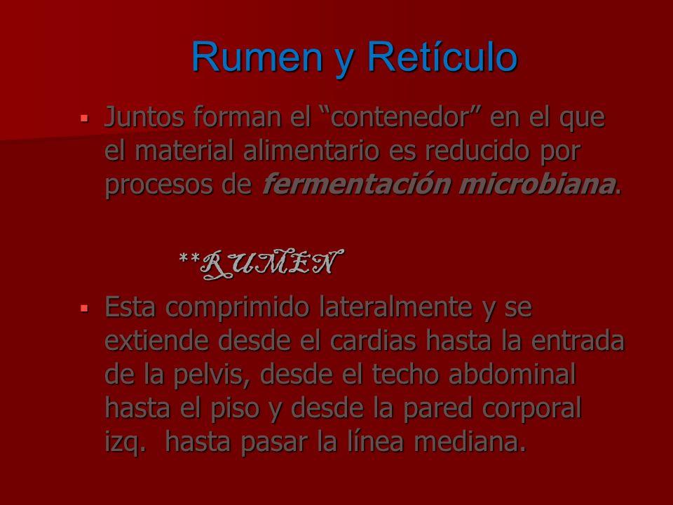 Rumen y Retículo Juntos forman el contenedor en el que el material alimentario es reducido por procesos de fermentación microbiana. Juntos forman el c
