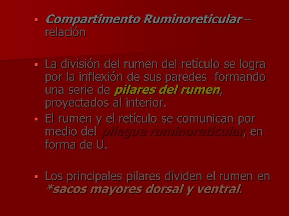 Compartimento Ruminoreticular – relación Compartimento Ruminoreticular – relación La división del rumen del retículo se logra por la inflexión de sus