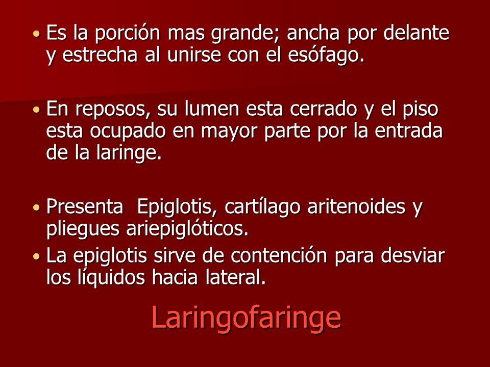 Laringofaringe Es la porción mas grande; ancha por delante y estrecha al unirse con el esófago. Es la porción mas grande; ancha por delante y estrecha