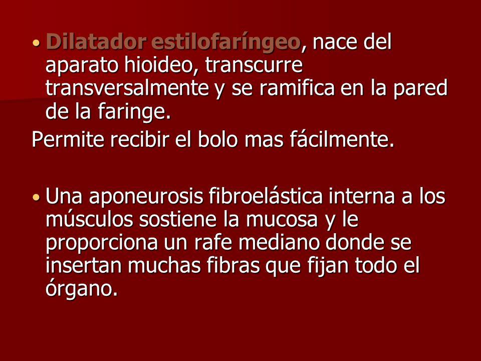 Dilatador estilofaríngeo, nace del aparato hioideo, transcurre transversalmente y se ramifica en la pared de la faringe. Dilatador estilofaríngeo, nac