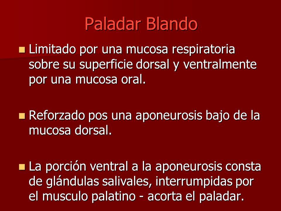 Paladar Blando Limitado por una mucosa respiratoria sobre su superficie dorsal y ventralmente por una mucosa oral. Limitado por una mucosa respiratori