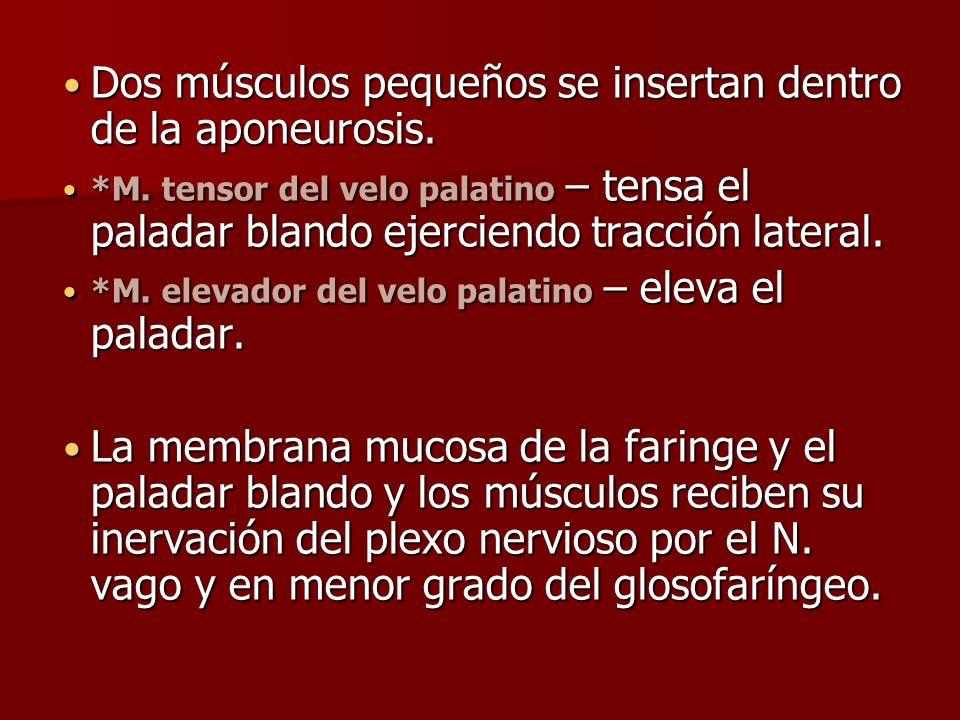 Dos músculos pequeños se insertan dentro de la aponeurosis. Dos músculos pequeños se insertan dentro de la aponeurosis. *M. tensor del velo palatino –