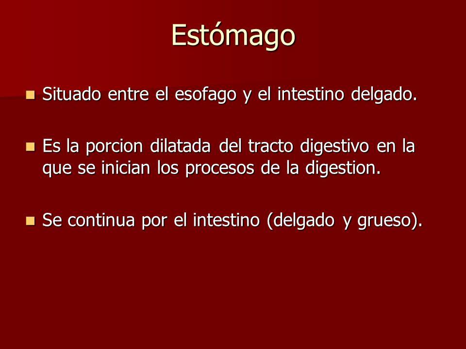 Estómago Situado entre el esofago y el intestino delgado. Situado entre el esofago y el intestino delgado. Es la porcion dilatada del tracto digestivo