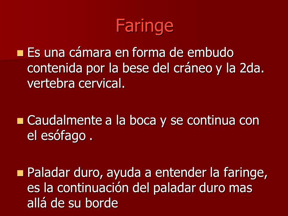 Faringe Es una cámara en forma de embudo contenida por la bese del cráneo y la 2da. vertebra cervical. Es una cámara en forma de embudo contenida por