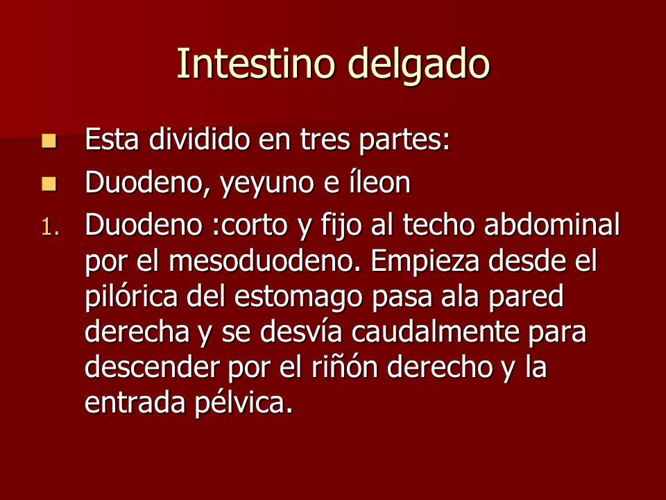 Intestino delgado Esta dividido en tres partes: Esta dividido en tres partes: Duodeno, yeyuno e íleon Duodeno, yeyuno e íleon 1. Duodeno :corto y fijo