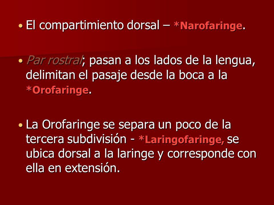 El compartimiento dorsal – *Narofaringe. El compartimiento dorsal – *Narofaringe. Par rostral; pasan a los lados de la lengua, delimitan el pasaje des