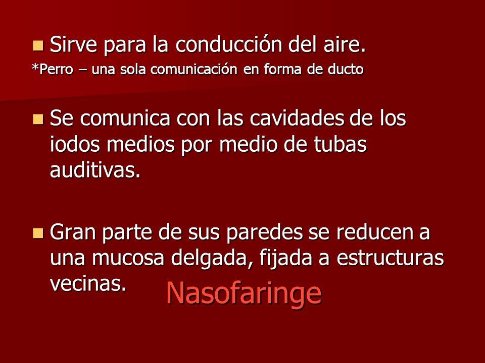 Nasofaringe Sirve para la conducción del aire. Sirve para la conducción del aire. *Perro – una sola comunicación en forma de ducto Se comunica con las
