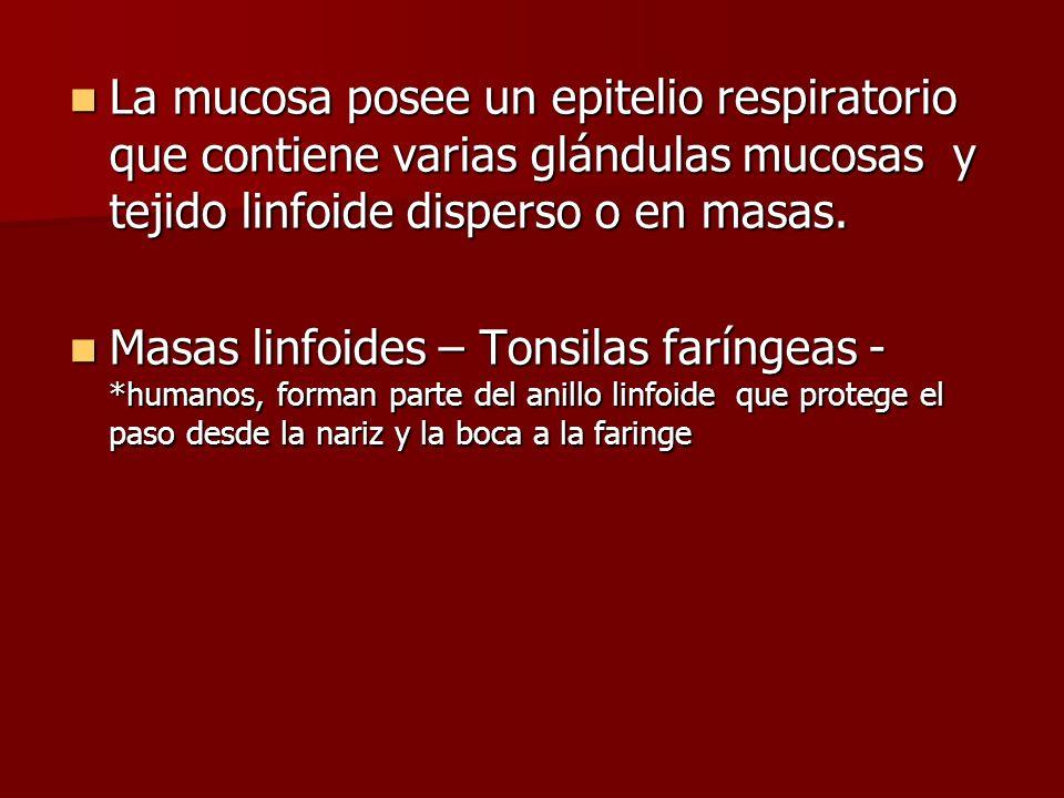 La mucosa posee un epitelio respiratorio que contiene varias glándulas mucosas y tejido linfoide disperso o en masas. La mucosa posee un epitelio resp