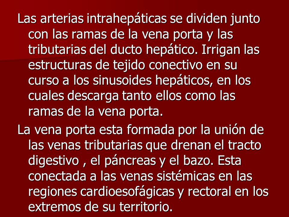Las arterias intrahepáticas se dividen junto con las ramas de la vena porta y las tributarias del ducto hepático. Irrigan las estructuras de tejido co
