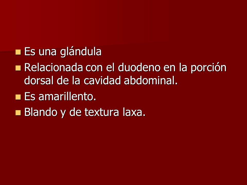 Es una glándula Es una glándula Relacionada con el duodeno en la porción dorsal de la cavidad abdominal. Relacionada con el duodeno en la porción dors