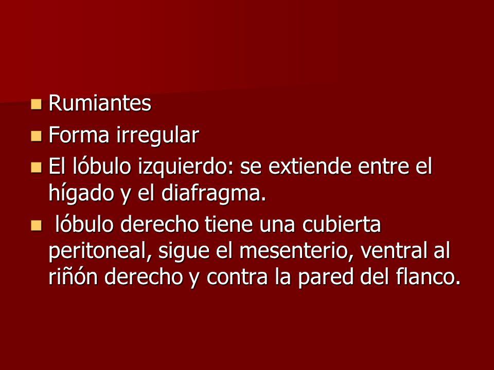 Rumiantes Rumiantes Forma irregular Forma irregular El lóbulo izquierdo: se extiende entre el hígado y el diafragma. El lóbulo izquierdo: se extiende