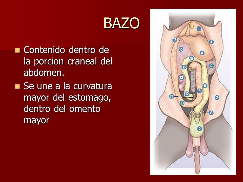 BAZO Contenido dentro de la porcion craneal del abdomen. Contenido dentro de la porcion craneal del abdomen. Se une a la curvatura mayor del estomago,
