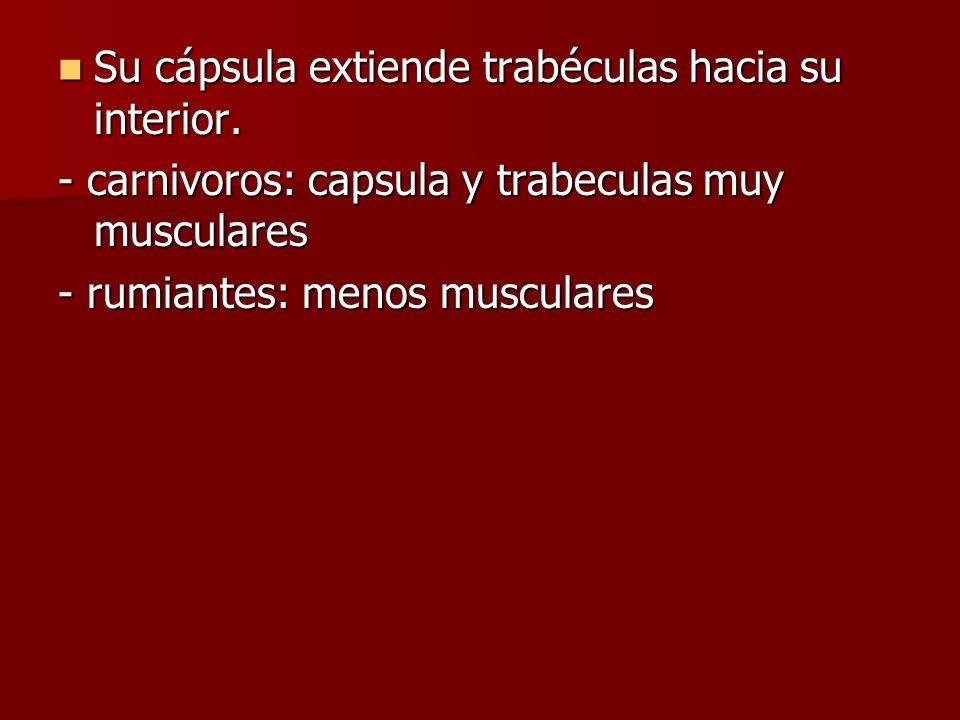 Su cápsula extiende trabéculas hacia su interior. Su cápsula extiende trabéculas hacia su interior. - carnivoros: capsula y trabeculas muy musculares