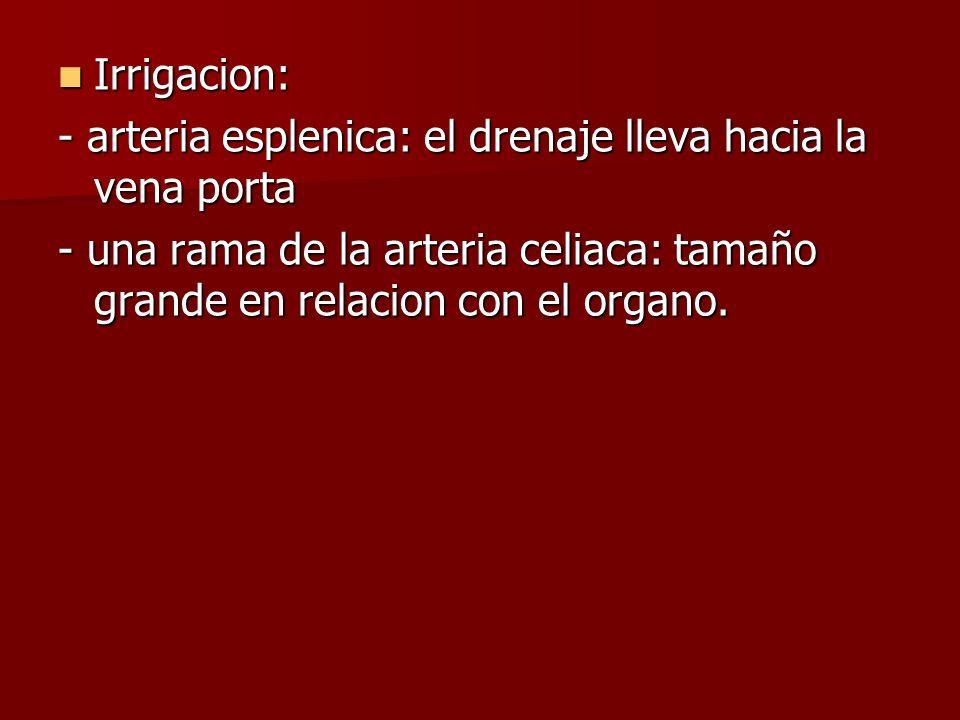 Irrigacion: Irrigacion: - arteria esplenica: el drenaje lleva hacia la vena porta - una rama de la arteria celiaca: tamaño grande en relacion con el o