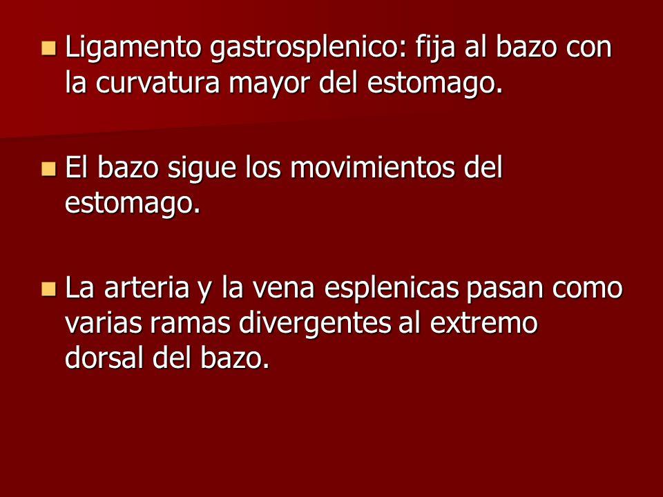 Ligamento gastrosplenico: fija al bazo con la curvatura mayor del estomago. Ligamento gastrosplenico: fija al bazo con la curvatura mayor del estomago